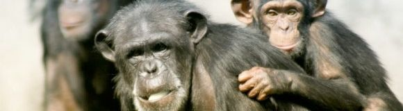 Img chimpances xl
