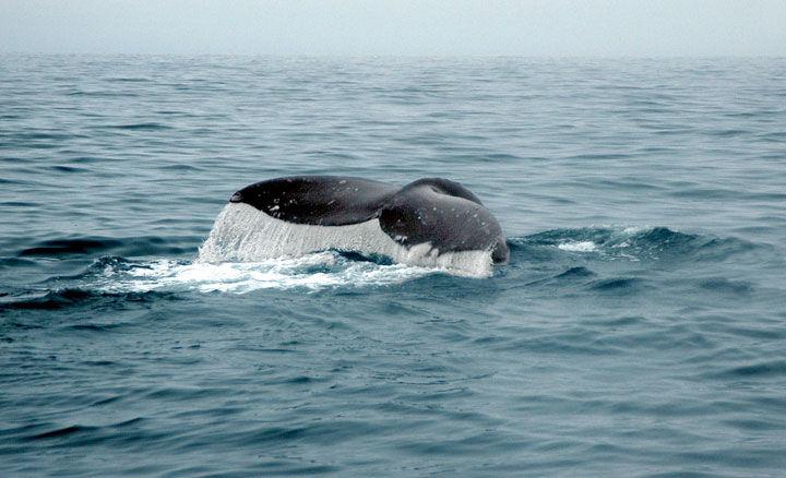 Img cola ballena