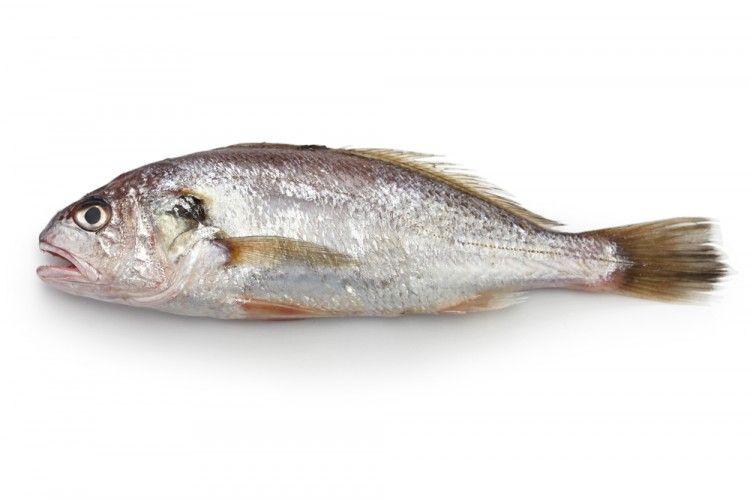Img corvina pez art