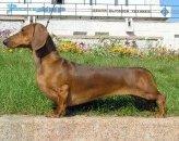img_dachshund listado7