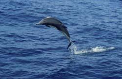 Img delfin comun