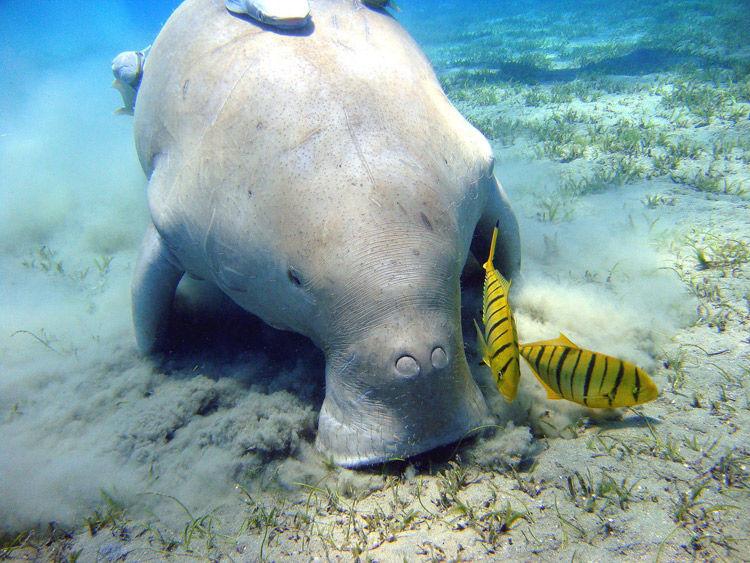 Img dugong