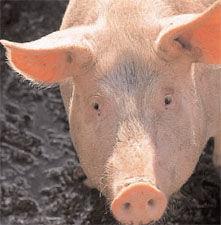 Img el cerdo