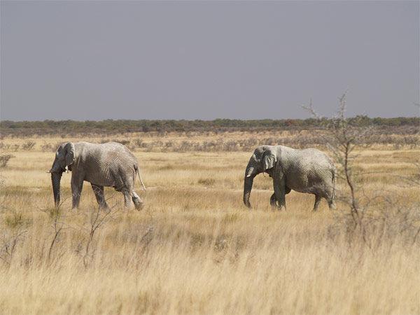 Img elefantes