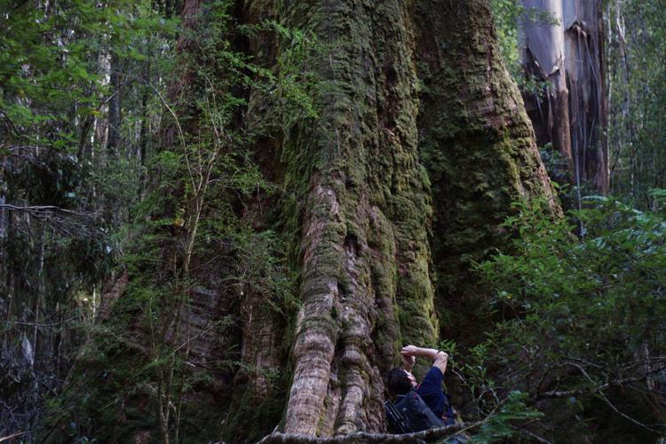 Img eucalyptus regnans
