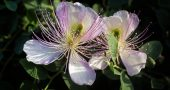 Img flor alcaparra