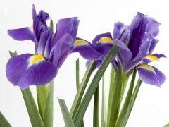 Img flor iris art