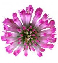 Img flor trebol art