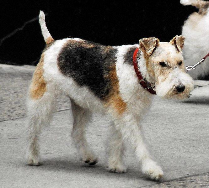 img_fox terrier