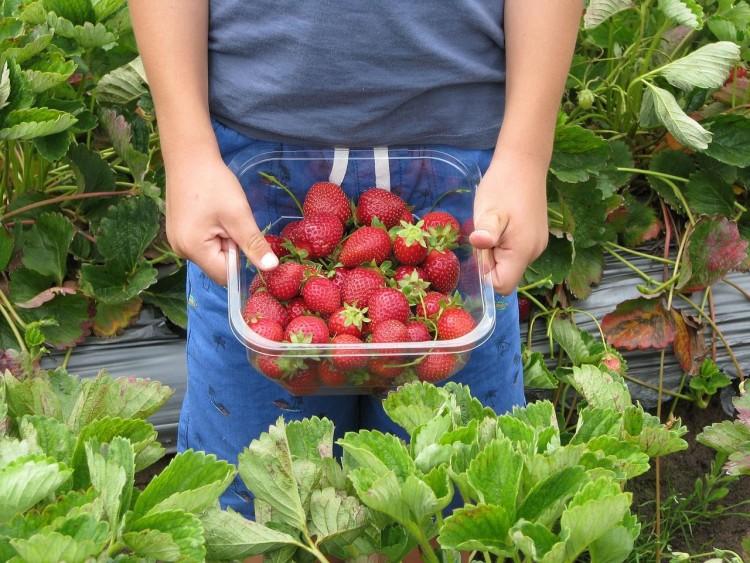 Img fresas huerto ecologico art