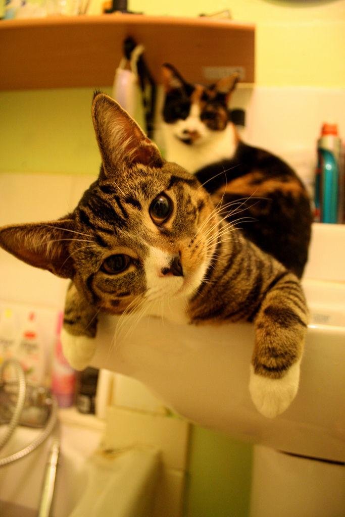 Img gatos aguas higienes salud limpios banos necesarios mascotas animales