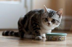 Img gatos alimentos alimentar comidas latas piensos consejos veterinarios animales mascotas art