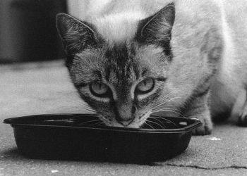 Img gatos alimentos enfermos art