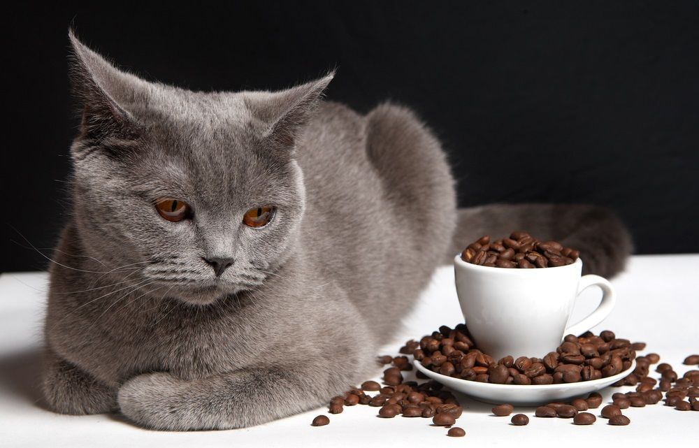 Img gatos alimentos peligrosos cafe