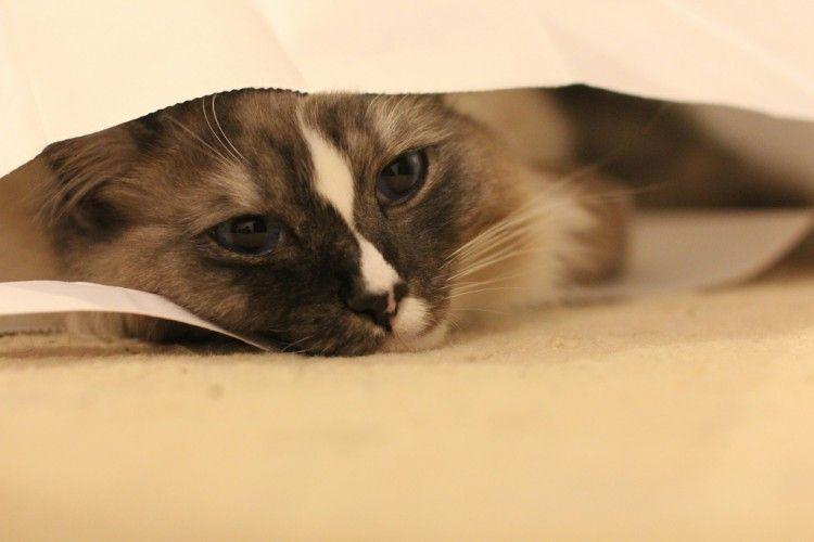 Img gatos asma 3 art