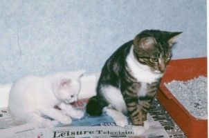 Img gatos bandeja arena cuidado trucos pautas felinos animales mascotas art