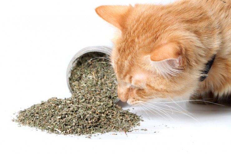 Img gatos catnip hierbas 2 art