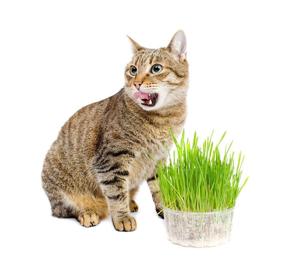 Img gatos catnip hierbas