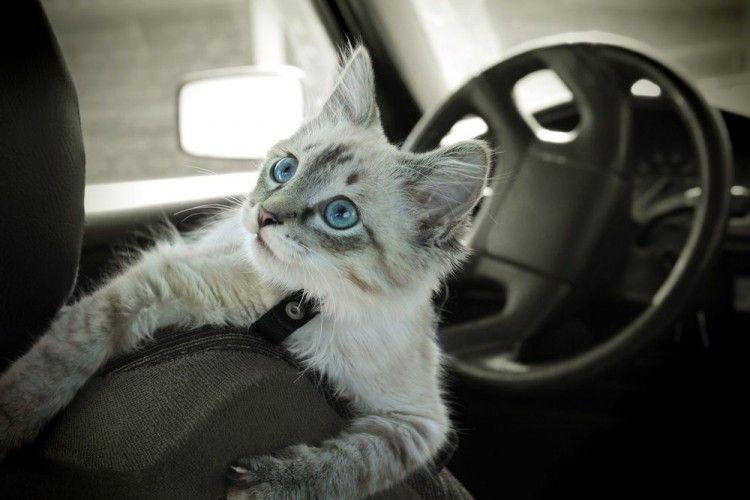 Img gatos coches viajar consejos art