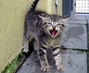 Img gatos comunicacion posturas corporales que dices orejas felinos mascotas animales art