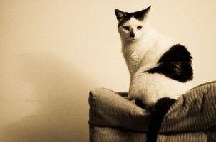 Img gatos diabetes enfermedades salud alimentos animales mascotas art