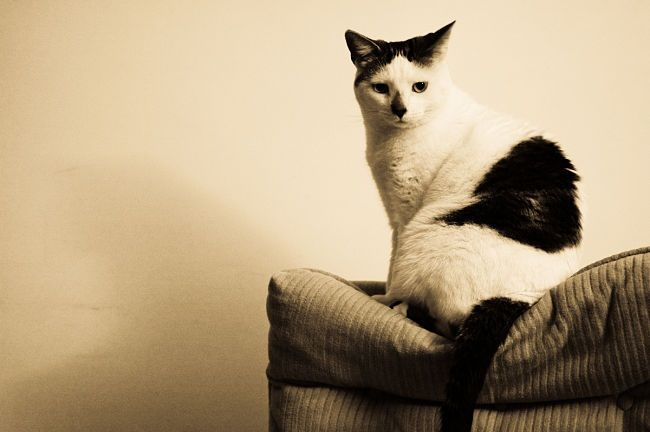 Img gatos diabetes enfermedades salud alimentos animales mascotasinternet