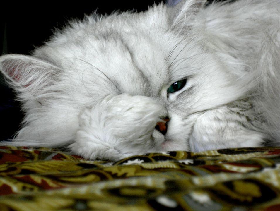 img_gatos embarazos