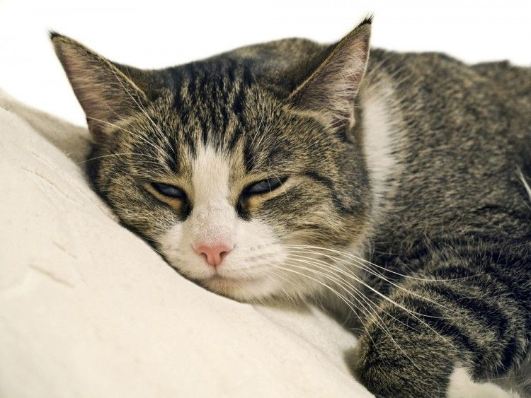 Img gatos enfermedades comunes 3 art