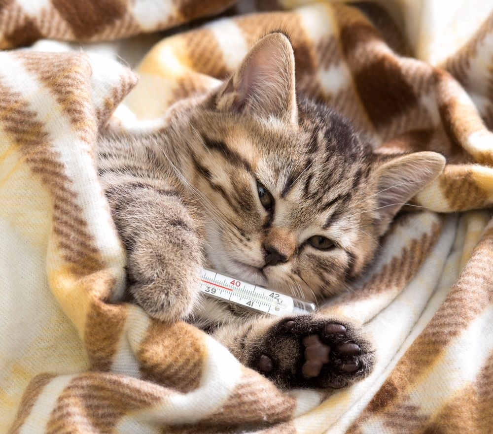 img_gatos enfermedades comunes