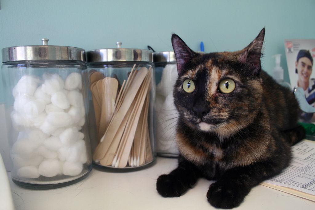 Img gatos enfermedades piel salud gatos veterinarios alergias