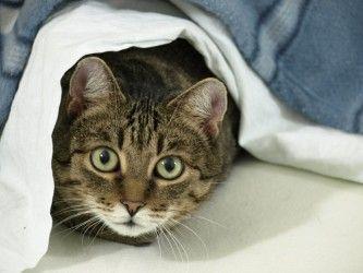 Img gatos inmunodeficiencias enfermedades art