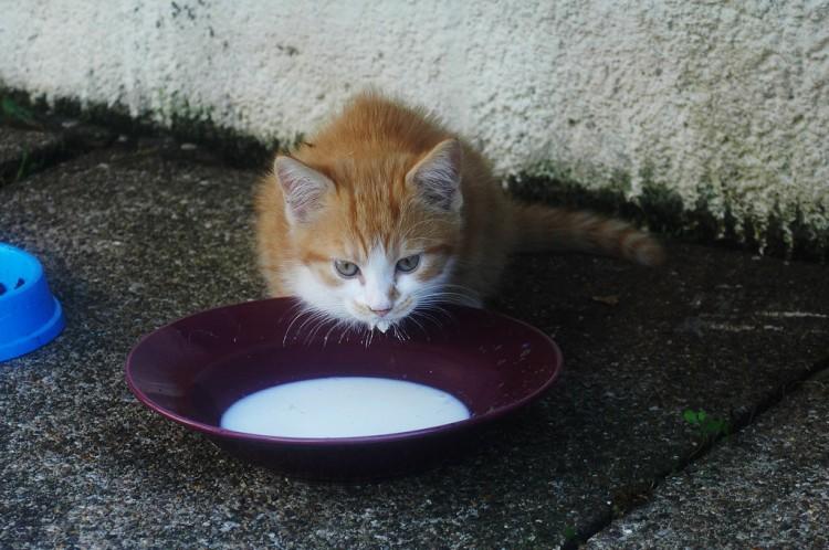 Img gatos leches felicidad comida art