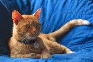 img_gatos naranjas machos listado