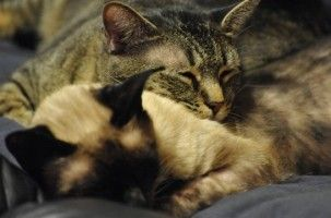 Img gatos nuevos casa adoptar segundo gatos animales mascotas presentar consejos evitar peleas agresividad art