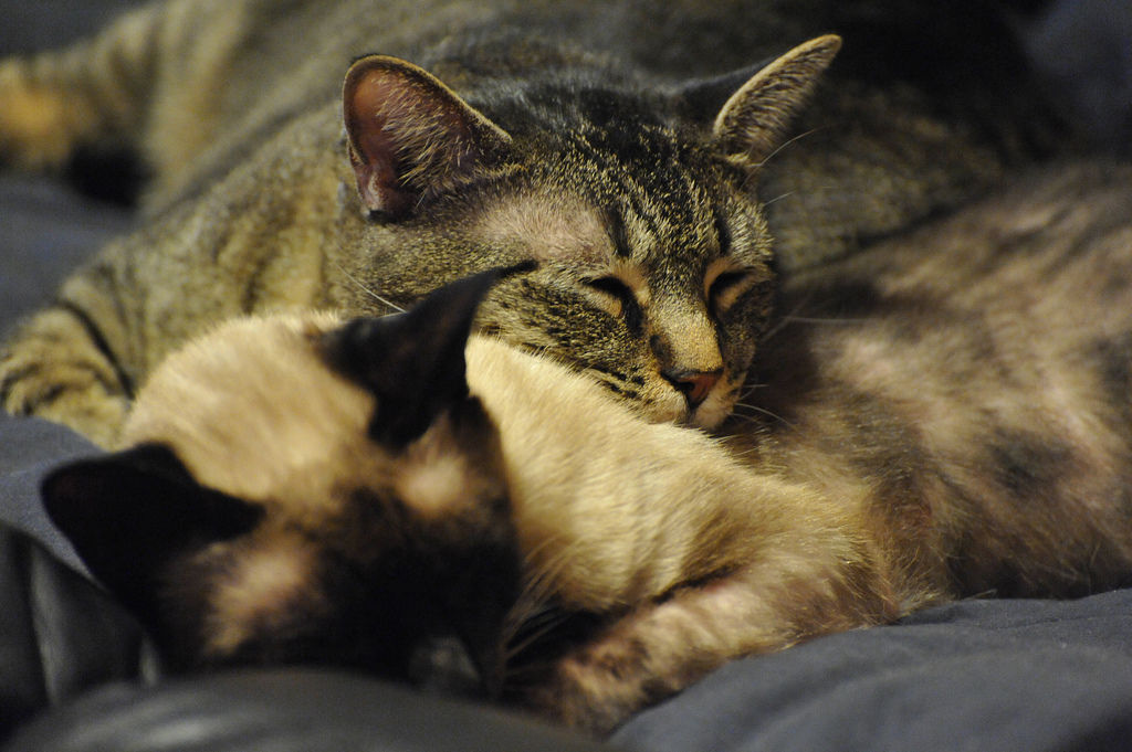 img_gatos nuevos casa adoptar segundo gatos animales mascotas presentar consejos evitar peleas agresividad