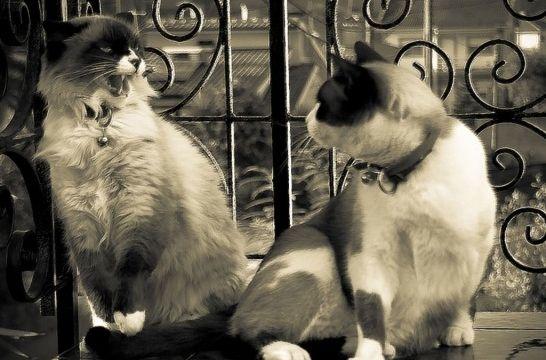 Img gatos peleas como frenar parar evitar felinos animales mascotas enfadadas listg