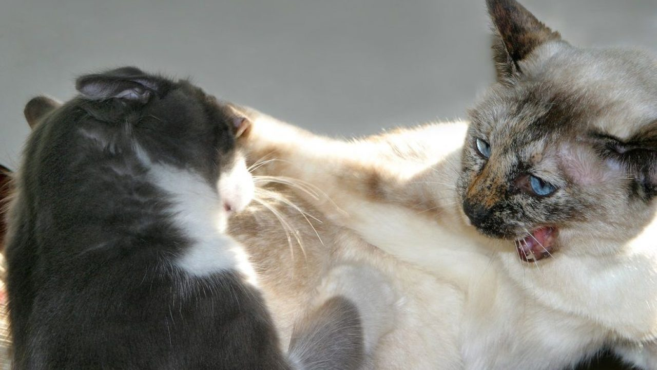 Qué Hacer Cuando Dos Gatos Se Pelean 10 Trucos Consumer