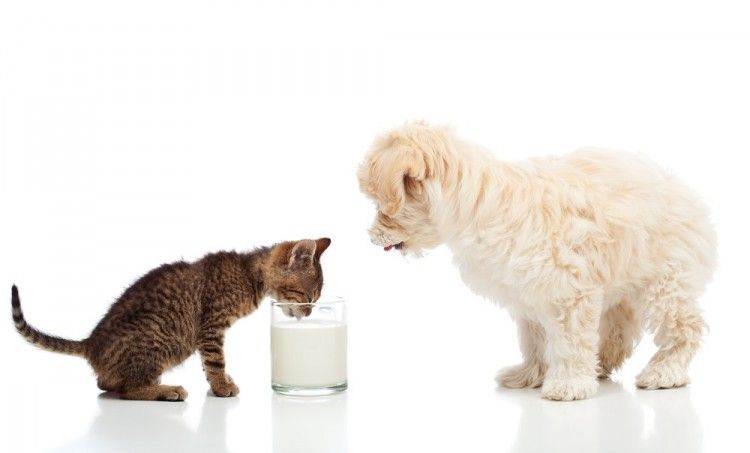 Img gatos perros leche art