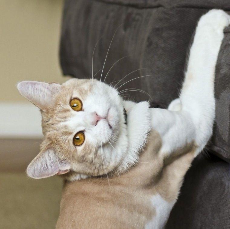 Img gatos rascar sofa trucos art