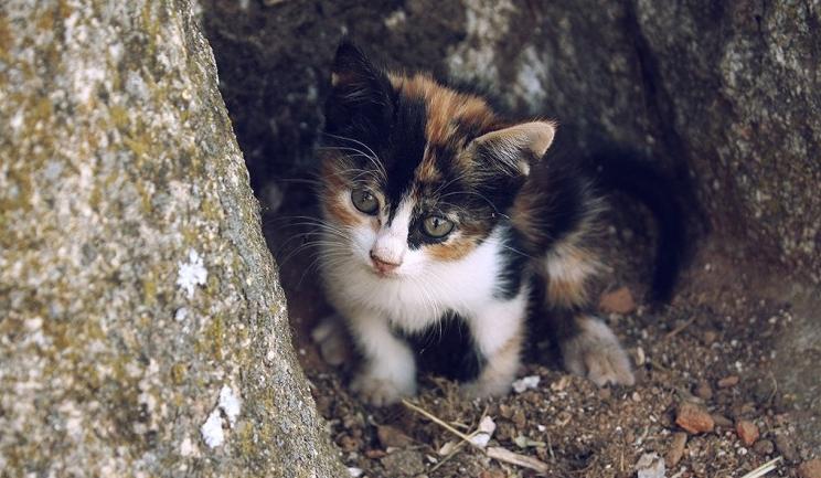 Img gatos tricolores hembras art