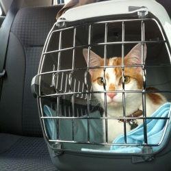 Img gatos viajar coches art