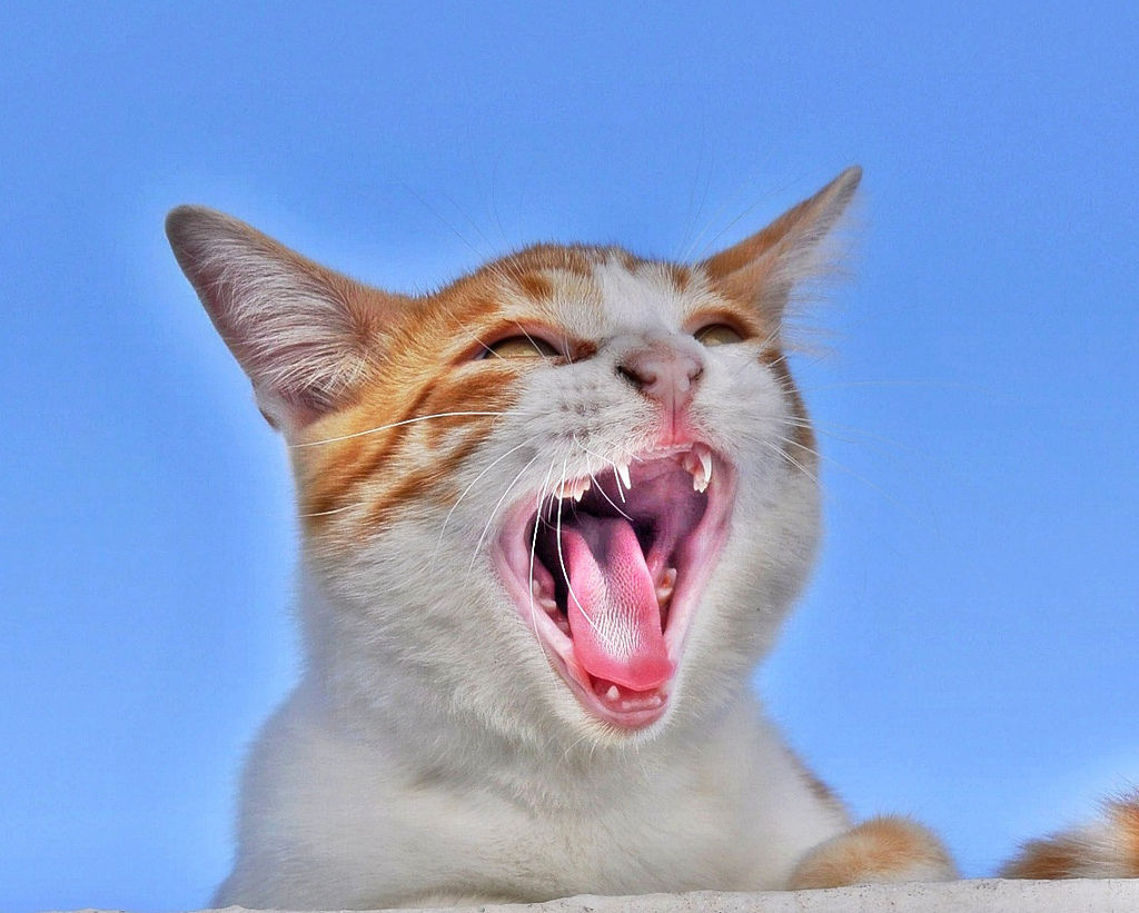img_gatos voz maullidos afonico resfriado salud consejos animales mascotas 1