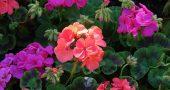 img_geranio colores
