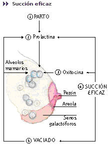 Img glandulas mamarias