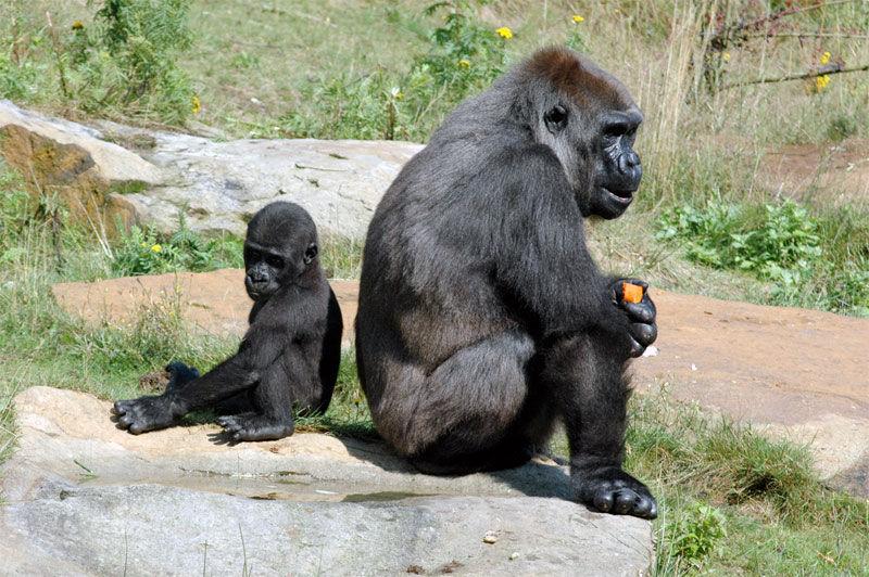 Img gorilas