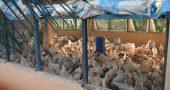 Img granja avicola