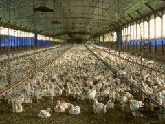 Img granja avicola1