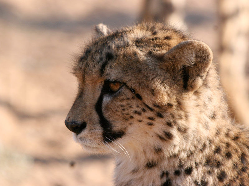 Img guepardo