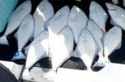 Img halibut listado