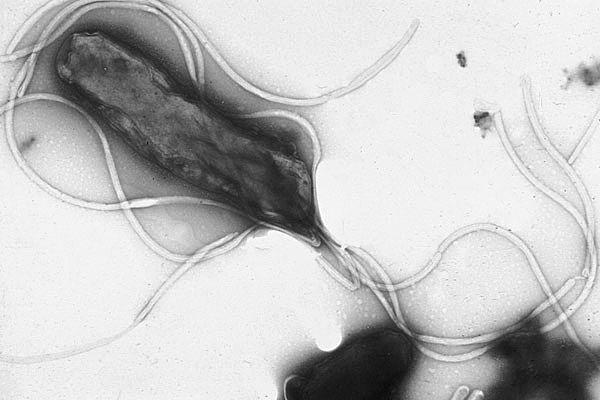 Img helicobacterpylori